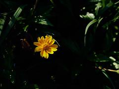小黃花 (亞刃) Tags: olympus em10mkiii m43 olympusm45mmf18 yellow flower