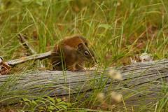 Squirrel Behind Trunk 2