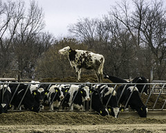 lets play 'king of the hill' (TAC.Photography) Tags: cows funny whimsical