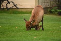 Elk Calf Kneeling Down to Graze 2