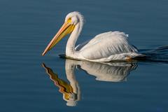Pelican Reflection (MelRoseJ) Tags: sanrafael california unitedstatesofamerica lasgallinas birds bayarea nature northerncalifornia whitepelican pelican