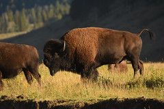 Male Bison Sniffing Butt