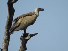 White-backed Vulture / Witrugaasvoël (Pixi2011) Tags: vulture krugernationalpark southafrica africa wildbirds nature birds birdsofprey