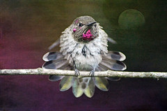 prince  ♑ (Honey Buster) Tags: hummingbird annas male coth coth5 sunrays5