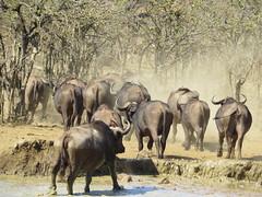 Cape Buffalo  /  Buffels (Pixi2011) Tags: buffalo krugernationalpark southafrica africa wildlifeafrica big5 wildanimals animals nature