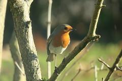 The little robin (Intothevoid._) Tags: robin europeanrobin bird birdphotography birds nature naturephotography animal wildlife wildlifephotography canon canonphotography