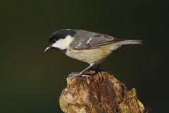 K32P5318c Coal Tit, Lackford Lakes, November 2019 (bobchappell55) Tags: lackfordlakes periparusater suffolk bird coaltit nature wild wildlife