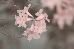 (Gabriela Ramírez) Tags: nature pink sweet flowers delicate