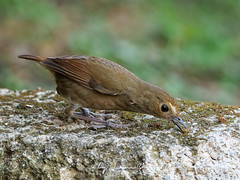 19311.1088964 (lamgphoto) Tags: 白喉短翅鶇 lesser shortwing