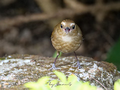 19311.1088874 (lamgphoto) Tags: 白喉短翅鶇 lesser shortwing