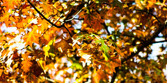 Rolling Color of Autumn (कलविङ्क) Tags: tree leaf red golden sigmax3 autumn