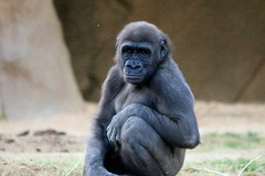 Silverback Gorilla (kimpossible pics) Tags: outdoors nature wildlife zoo park sandiegozoo sandiegozoosafaripark safaripark sandiegosafaripark wildlifepark sandiego escondido apes simian gorilla silverback silverbackgorilla