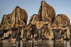 The Gathering (PamsWildImages) Tags: africa wildebeest nature naturephotographer wildlife wildlifephotographer waterhole pamswildimages pammullins canon