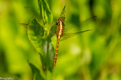Wandering Percher (Possy's Pics) Tags: insect