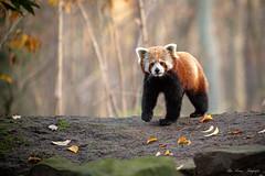 Flin (Ria Trouw) Tags: erlebniszoohannover hannover niedersachsen roter panda säugetiere flin