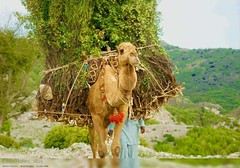 Camel Of Soon Valley ❤️  Pc Bilal hafeez  #SVT #Waterfall #Nature #Forest #Travel  #Soonvalley #Khushab #Culture #Photography #Archaeology #Trip   #Awesome #Art #Wild #Beauty #Pakistan #Adventure #Tours #Camping #Mountains #Cycling #World  #Jabba #E (Soon Valley Tours) Tags: beauty art wild trekking waterfall tample awesome soonvalley world svt mountains archaeology pakistan camping culture khushab nature trip cycling adventure tours jabba travelblogger hiking photography travel forest punjabtourism explorepunjab