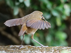 19311.1088820 (lamgphoto) Tags: 白喉短翅鶇 lesser shortwing