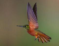 Chestnut-breasted coronet (Eric Gofreed) Tags: boissonneauamatthewsii chestnutbreastedcoronet ecuador guangolodge hummingbird multiflashphotography