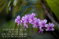 Tropical Christmas. Shalom and Goodwill to all who call to and draw near to Him. (J316) Tags: j316 orchid flowers a7iii sony tropical f14 85mm samyang christmas