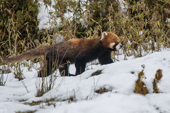 Red Panda in the snow (Tim Melling) Tags: ailurus fulgens styani red panda china sichuan snow timmelling