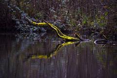Basingstoke Canal Claycart-Eelmoor 8 December 2019 017 (paul_appleyard) Tags: green mossy moss branch reflected still calm water basingstoke canal hampshire december 2019