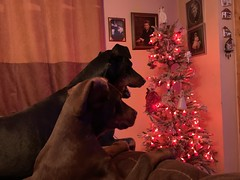 Christmas 2019 (firehouse.ie) Tags: holidays festive animals animal canine k9 pinschers pinscher xmas christmas dobermanns dobermann dobermans doberman dobes dobe dobeys dobey dobies dobie dogs dog