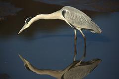 Aim (Teruhide Tomori) Tags: nature bird wild kyoto japan japon hirosawanoike pond winter animal greyheron アオサギ 野鳥 広沢池 京都 冬 鳥 動物 野生 日本