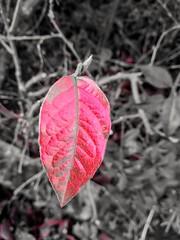 Splash of red. (daveandlyn1) Tags: leaf singlecolour autumncolours smartphone psdigitalcamera cameraphone pralx1 p8lite2017 huaweip8 red closeup upclose splashofautumn