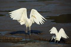 Great egret (Teruhide Tomori) Tags: nature bird wild kyoto japan japon hirosawanoike pond winter greategret ダイサギ 野鳥 鳥 広沢池 京都 冬 野生 動物 自然 日本 water