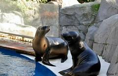 León marino de California (Marisa Tárraga DV) Tags: españa spain madrid zooaquarium animal leonmarinodecalifornia naturaleza nature ngc