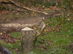Woodland Robin (Sussex) (Adam Swaine) Tags: robin robinredbreast robins birds gardenbirds englishbirds britishbirds rspb naturelovers nature wildlife england english woodland sussex canon beautiful britain british counties countryside uk ukcounties rural flora woodlandfloor county winter adamswaine 2019 fungi lichen erithacusrubecula