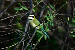 White-throated bee-eater (supersky77) Tags: lakealbert kabwoyawildlifereserve uganda africa rift valley