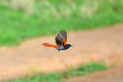 Paradise flycatcher flying (supersky77) Tags: lakealbert kabwoyawildlifereserve uganda africa rift valley