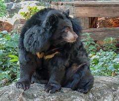 Asian Black Bear (Gösta Knochenhauer) Tags: 2015 thailand dscn7261 asian ursus thibetanus dusit zoo bangkok asiatic asiam black bear animal january nikon coolpix p520 dscn7261nik nik