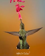 Anna's Hummingbird_T3W6196 (Alfred J. Lockwood Photography) Tags: alfredjlockwood nature annashummingbird birdsinflight sedona arizona summer morning