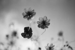Wind sound (Yumeboo) Tags: film monochrome om1 flower