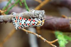 Utetheisa pulchella (Roy Lowry) Tags: xghajira utetheisapulchella crimsonspeckledflunkey moth