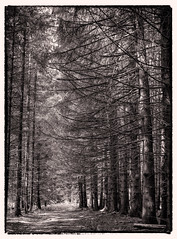 Conifer forest alongside my favoured loop trail (werner-marx) Tags: analog film meinfilmlab mediumformat agfarecordiii apotar kodakportra400 kellamsee forest trees wood