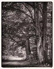 Beech trees alongside my favoured loop trail (werner-marx) Tags: analog film meinfilmlab mediumformat agfarecordiii apotar kodakportra400 kellamsee forest trees wood