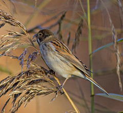 Reed Bunting 2 (PDKImages) Tags: reedbunting bunting bird avian wildlife reeds nature camouflage feathers rspb rspboldmoor outdoors water