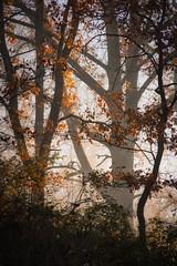 Mist and Sun (raidtxujones) Tags: tree no people outdoors nature tranquil scene plant autumn leaf beauty in change day branch scenics growth landscape mist misty fog foggy la garrotxa girona catalonia spain