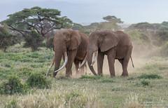 African Elephants - Loxidonta africana (rosebudl1959) Tags: amboseli zebraplainsamboselicamp africanelephants november 2019 timandprimo