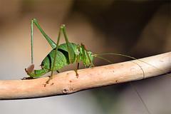 0979_speckled_bush_cricket (Realmantis) Tags: grasshopper bug invertebrate macro wildlife cricket