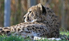 Sonnenbad / Sunbathing (schreibtnix on'n off) Tags: deutschland germany köln cologne kölnerzoo colognezoo tiere animals gepard cheetah acinonyxjubatus sonnenbad sunbathing olympuse5 schreibtnix