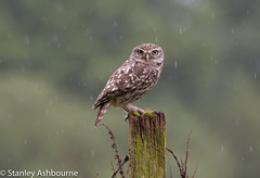 Little Owl in the rain. (stanley.ashbourne) Tags: rain littleowl bird nature wildlife england unitedkingdom post stanashbourne wildlifephotography