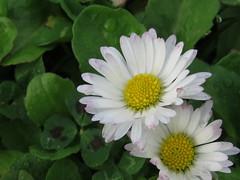 IMG_5749 (jesust793) Tags: flores flowers margaritas naturaleza nature
