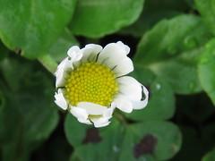 IMG_5753 (jesust793) Tags: flores flowers margaritas naturaleza nature