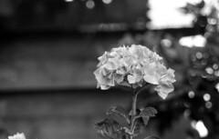 hortensia (Jos Mecklenfeld) Tags: hortensia flower bloem garden tuin monochrome bw minoltax700 minoltamdzoom2870mmf3545 minoltamdzoom2870mmf3548 minoltamdzoom2870 rolleirpx400 rollei rpx400 epsonv500 film ishootfilm expiredfilm analog analogue