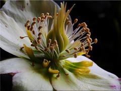 Macro shot of a blossom of Helleborus niger (Ostseetroll) Tags: deu deutschland geo:lat=5403903384 geo:lon=1068898577 geotagged pönitzamsee scharbeutz schleswigholstein christrose helleborusniger blüte flower makroaufnahme macroshot olympus em5markii