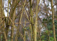 Great tit...Woodland Nature (Adam Swaine) Tags: tits greattit greatbritain birds gardenbirds englishbirds britishbirds rspb naturelovers nature england english wildlife beautiful woodland trees counties countryside sussex britain british canon adamswaine